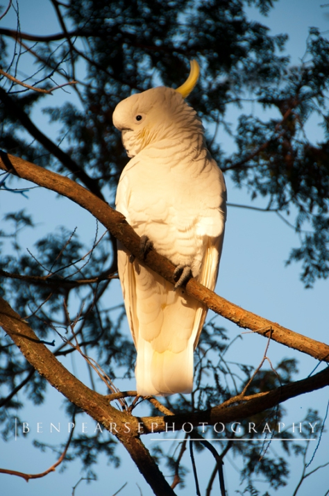 Cockatoo in afternoon light