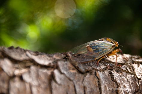 Cicada on the branch-September 2013-Web size