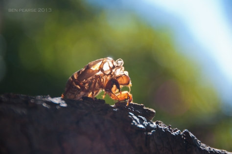 Cicada--September-2013--low-res