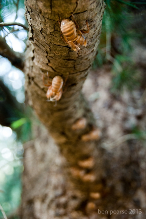 Line of cicadas- September 2013- Web size
