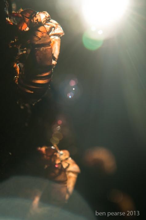 cicada glow