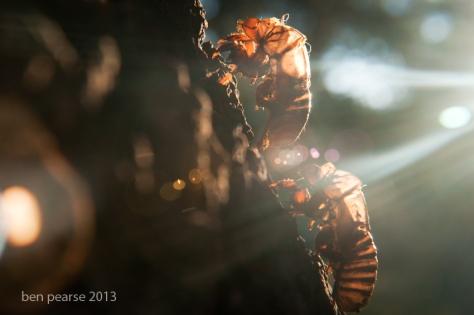 Cicada shells in the sun