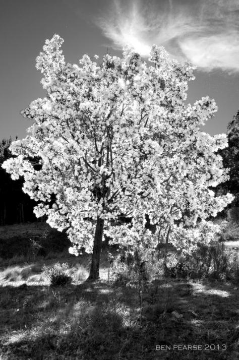 blazing wattle tree