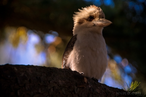 laughing Kookabura