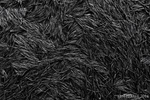 pine needle gathering