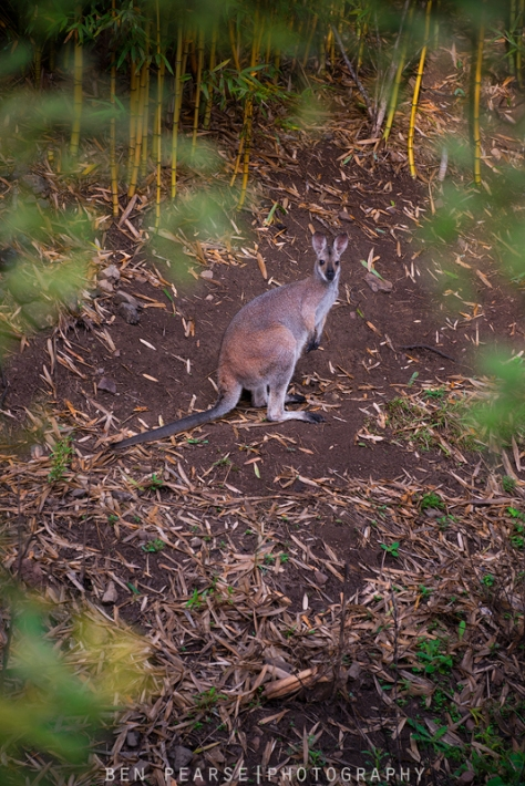 Kangaroo amongst bamboo