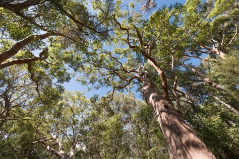 Angophora canopy- 2048
