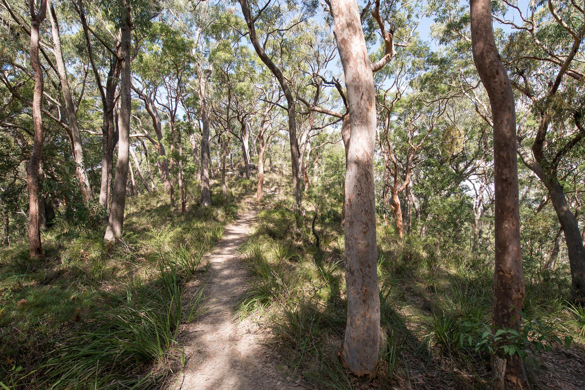 Angophora forest- april 2016- 2048