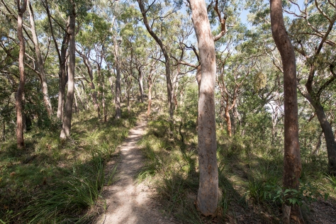 Angophora forest- april 2016- 2048