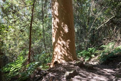 angophora trees