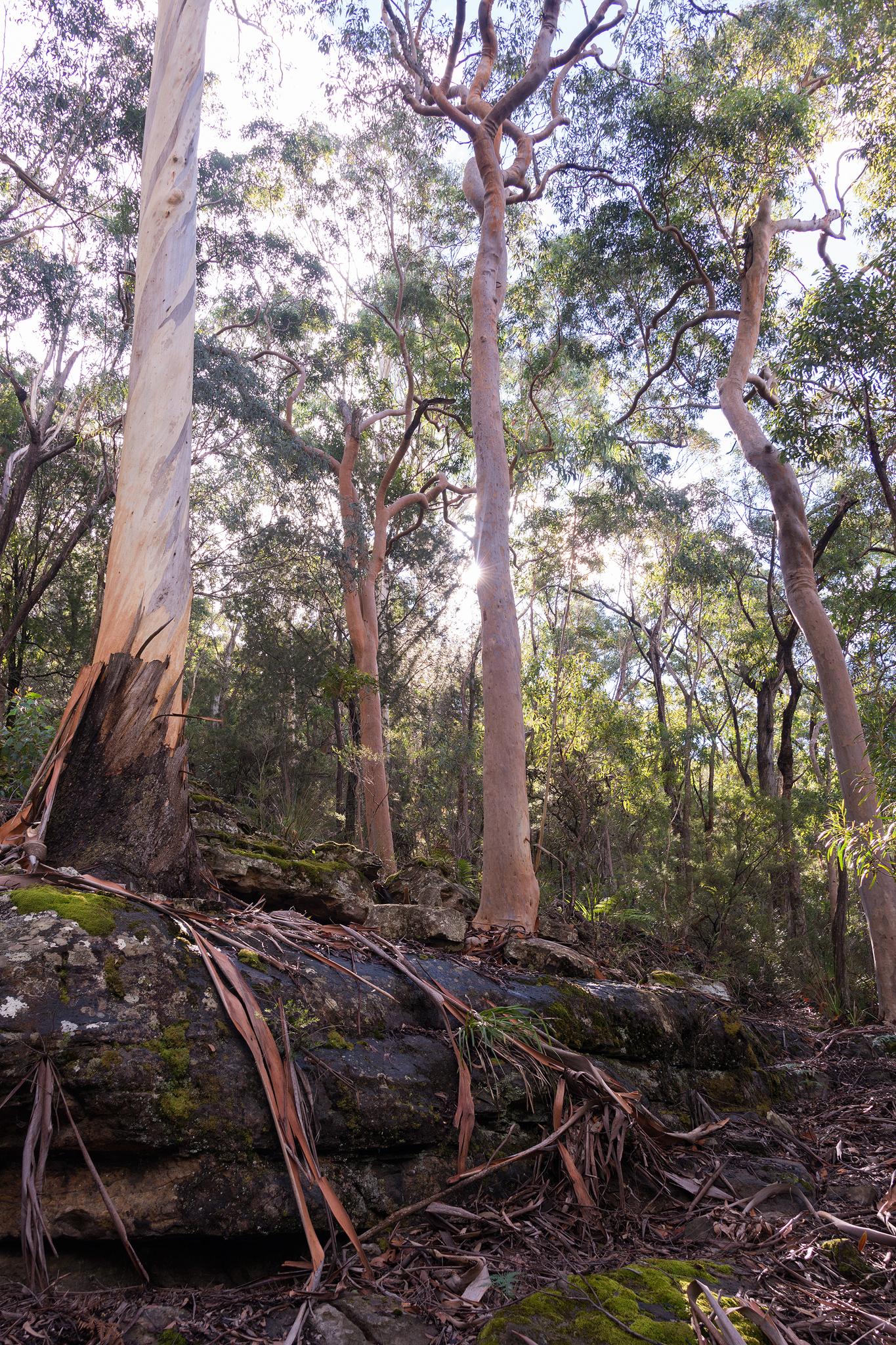 Chinaman's gap eucalyptus trees