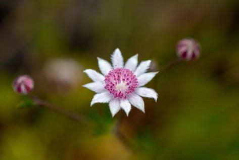 Pink flannel flower- Ben Pearse 2021- Web 3840