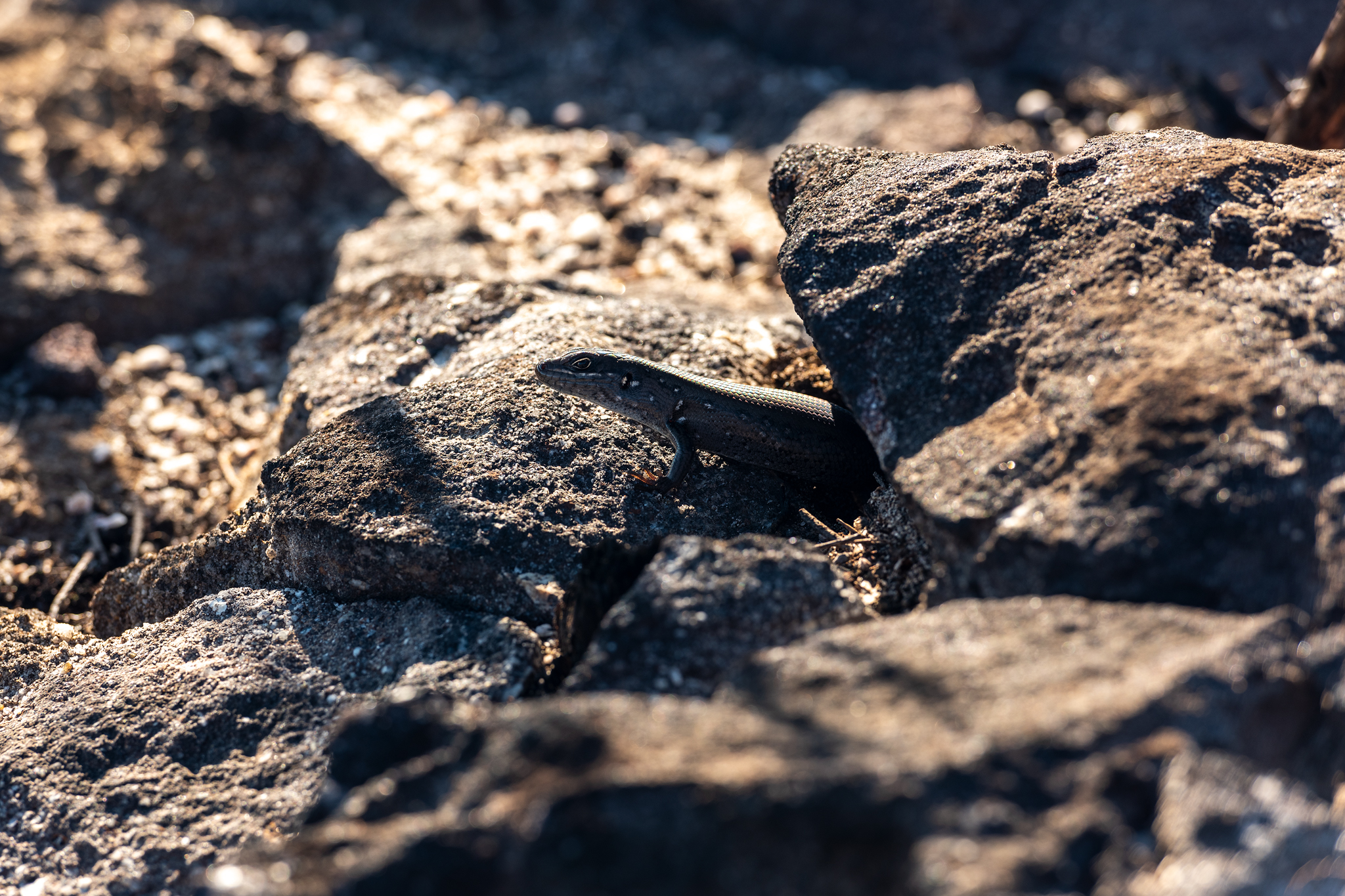 Lizard emerges after the bushfires